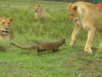 lion-vs-mongoose01