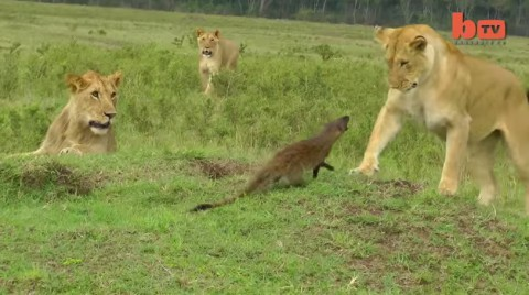 lion-vs-mongoose03