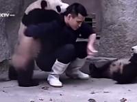 cute-clingy-pandas01