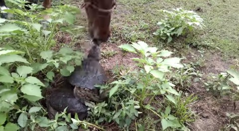 horse-vs-snapping-turtle02