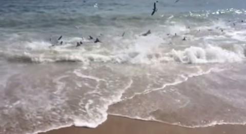 rare-shark-feeding-frenzy02