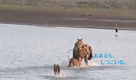 elephant-vs-14-lions03