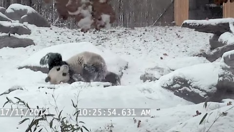 panda-tumbles-in-the-snow02