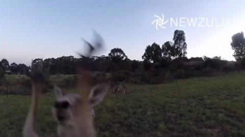 drone-vs-kangaroo02