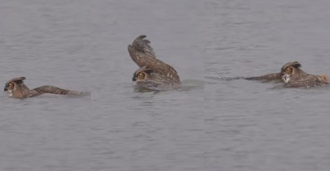 owl-doing-breast-stroke02