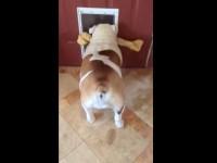 bulldog-with-large-bone01