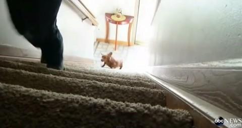 obese-dachshund03