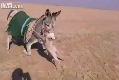 donkey-kills-fox02