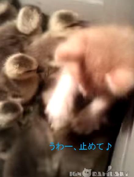 kitten-vs-ducklings02