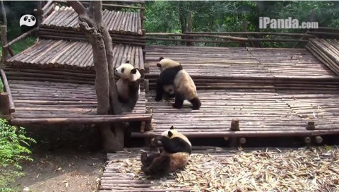 pandas-group-fights02