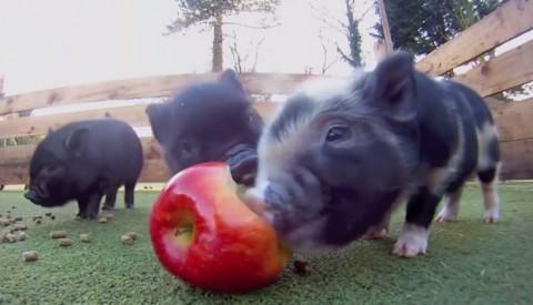 cute-micro-pig-babies02