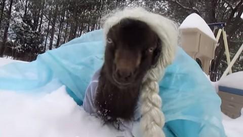 goat-dressed-up-as-elsa02