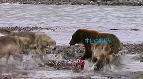 grizzly-bear-vs-wolves02