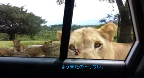 lion-opens-car-door02