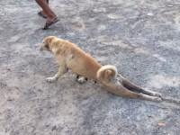 dog-faking-injury01