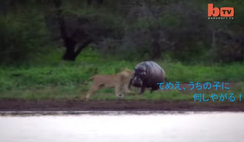 lion-vs-hippo02