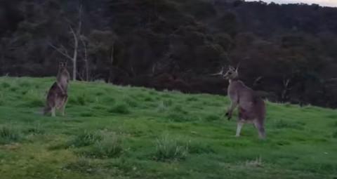 kangaroo-horde-during-bike-ride03