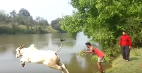 cow-jumps-into-the-river02