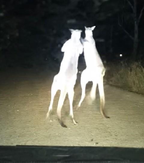 aussie-kangaroos-boxing02