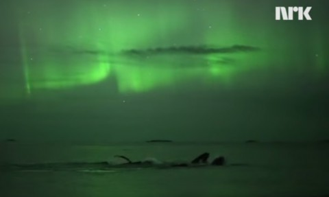 whales-swimming-under-northern-light02