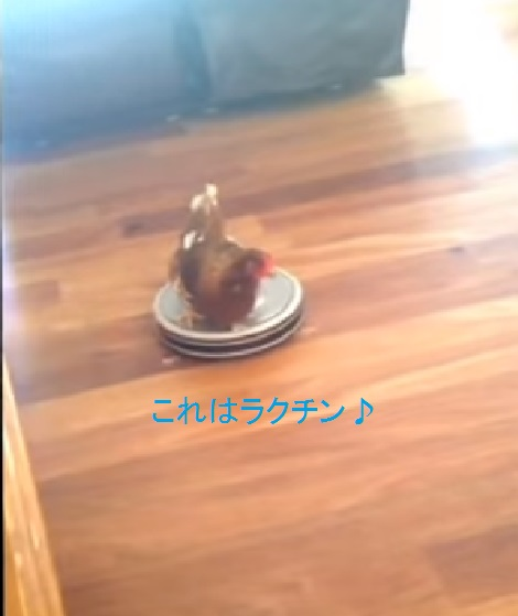 chicken-enjoying-vacuum-ride02