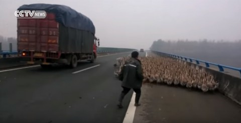farmers-herd-over-1300-geese02