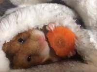 hamster-eating-carrot01