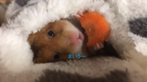 hamster-eating-carrot02
