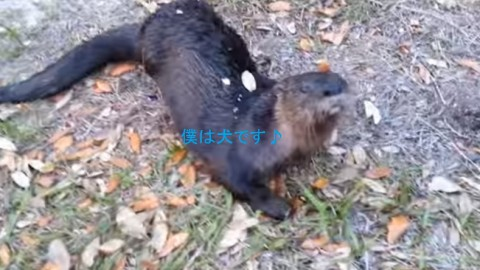 otter-plays-like-dog02