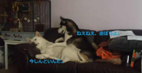 funny-huskies-playing02