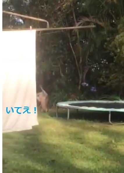 kangaroo-flips-on-trampoline02