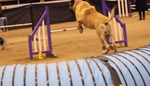 mastiff-competing-at-dog-agility01