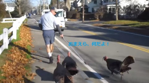 turkeys-attack-falmouth-mailman02