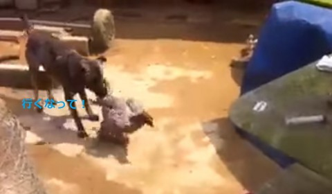 dog-settle-quarrel-between-roosters02