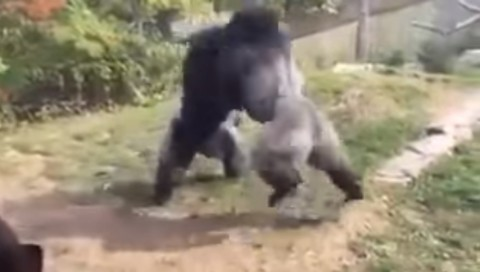 gorillas-boxing02