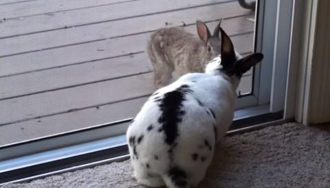 wild-rabbit-wants-in-now02