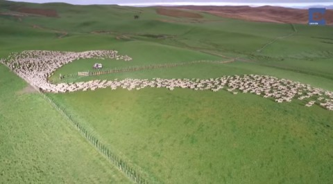 mesmerising-mass-sheep-herding03