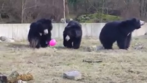 bears-playing-with-pink-balloon02