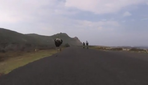 cyclists-chased-by-ostrich02