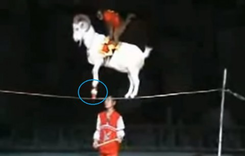 monkey-on-goat-on-cup-on-tightrope02