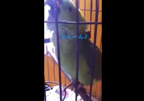 parrot-imitates-baby-crying02
