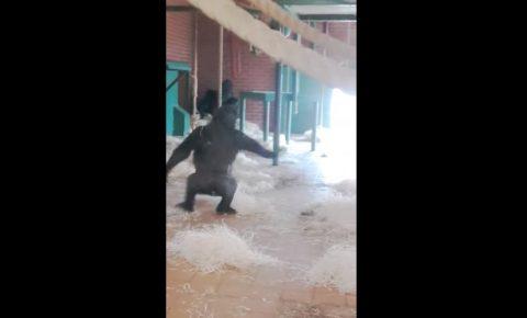 baby-gorilla-dancing02