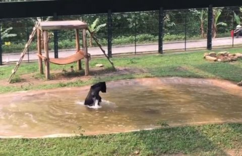 freed-from-bear-bile-farm02