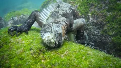 marine-iguanasg02