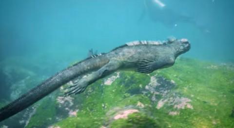 marine-iguanasg03