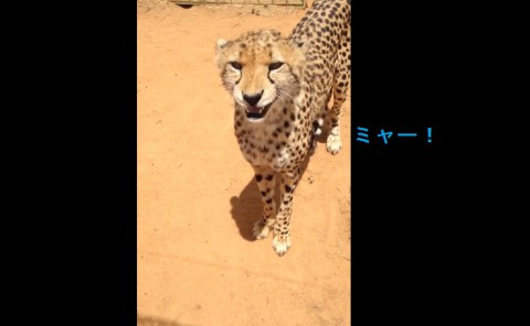 meowing-cheetah02