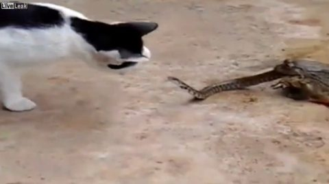 cat-vs-snake-in-toads-mouth02