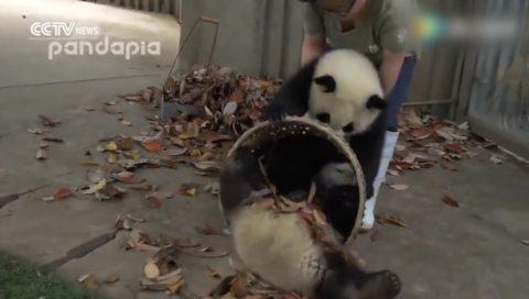 giant-pandas-create-trouble02