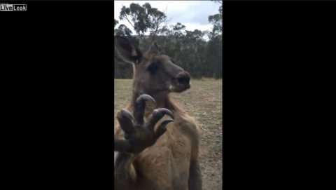 roo-wants-to-pick-a-fight01