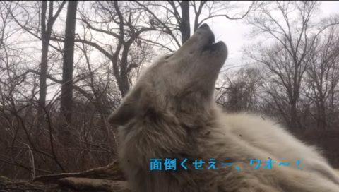 World-laziest-wolf-howls02